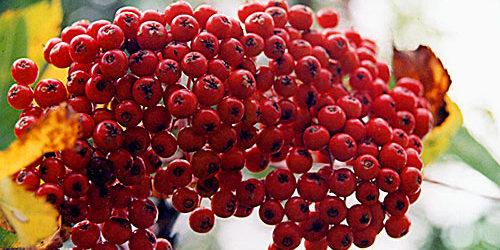 Vermont Autumn Berries - Fall Foliage Photo Tour from Vermont Living Magazine