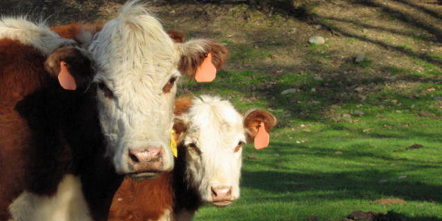 A Pair of Cows stare at the Camera for the Vermont Living cow photo tour.